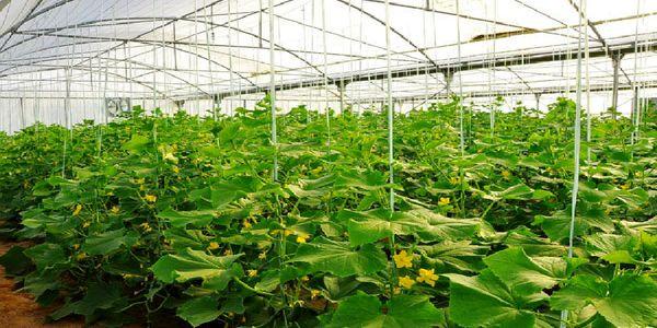 اصفهان  رتبه نخست احداث گلخانه را در کشور دارد
