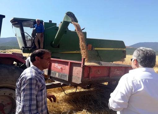 تولید بیش از 18 هزار تن گندم در شهرستان خداآفرین