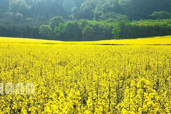 رشد ۷ برابری تولید دانه روغنی کلزا در سال زراعی جاری