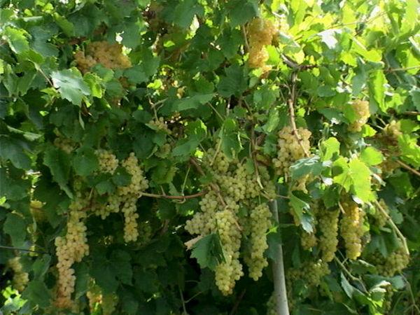۲۳ هزار تن انگور در استان برداشت شد