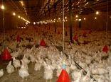 رشد ۷ درصدی تولید مرغ در استان