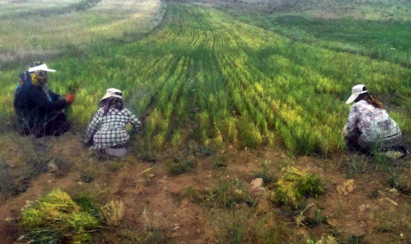 تولید 10 درصد عدس ایران در ورزقان