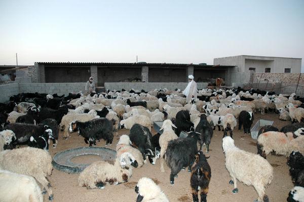 تامین 50 هزار راس دام سبک برای عید قربان در سیستان و بلوچستان