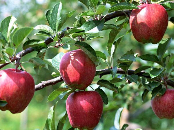 تولید محصولات باغی به 21 میلیون تن رسید