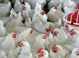 پرورش ۲۹ هزار قطعه مرغ ایرانی مادر برای نخستین بار در خراسان شمالی