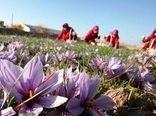 تولید ۹ تن زعفران در استان اصفهان