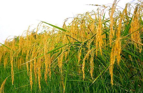 آغاز برداشت برنج در گیلان از اوایل هفته آینده