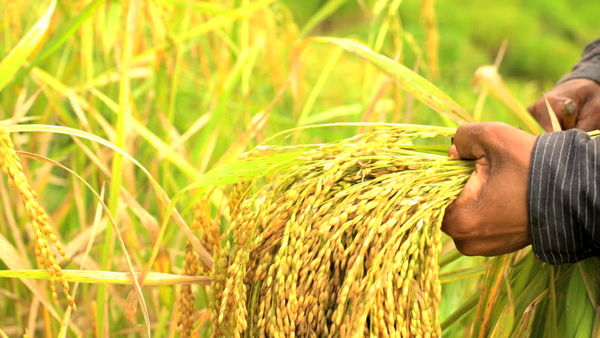 280 هزار تن شالی برنجکاران گلستانی برای شالیکوبی به مازندران ارسال شد