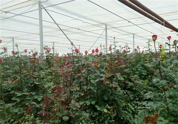 تولید سالانه 14 میلیون گل شاخه بریده در استان کرمان