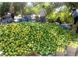 تولید 500 هزار تنی مرکبات از باغ های ساری/ لزوم رعایت میزان قند میوه در زمان برداشت