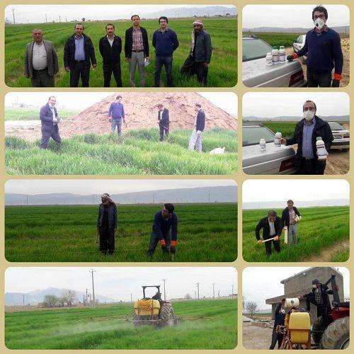مصرف قارچکش در مزارع طرح ملی گندم بنیان فارس