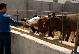 ترویج و توسعه گاو نژاد سمینتال در فراشبند