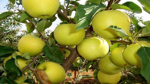 پیشبینی برداشت بیش از هزار تن سیب در خراسان جنوبی