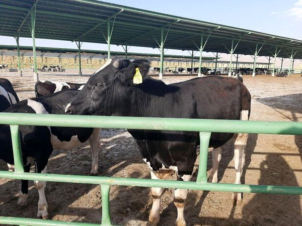 استان اصفهان صادر کننده گوشت قرمز دام سنگین است