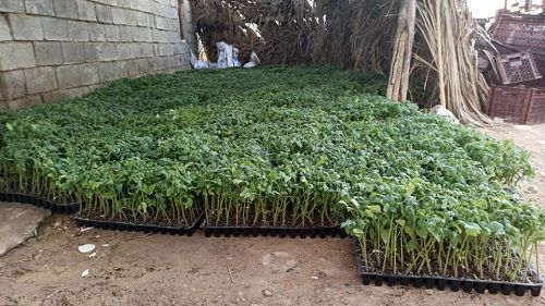 پیش بینی کاشت 250 هکتار گوجه فرنگی در فراشبند