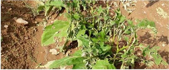 سیل و تگرگ به ۱۶۰۰ هکتار از اراضی کشاورزی ارومیه خسارت وارد کرد