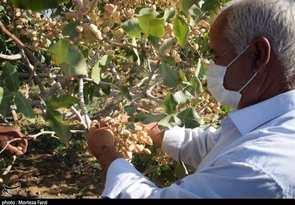 امسال 60 تن پسته از باغهای آذربایجانغربی برداشت میشود