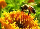 زنبور عسل یکی از مزیتهای خراسانجنوبی