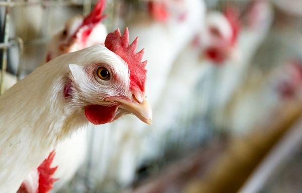 ایران امسال درگیر آنفلوآنزای پرندگان نشد