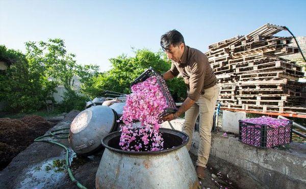 خرید ۱۱۱ تن گل محمدی از کشاورزان آران و بیدگل