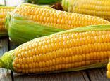 پیش بینی برداشت بیش از 5  هزار تن ذرت بذری