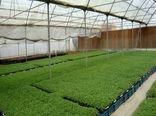 ۱۲ میلیون قطعه نشا گوجه فرنگی به صورت مکانیزه در شهرستان البرز تولید شد