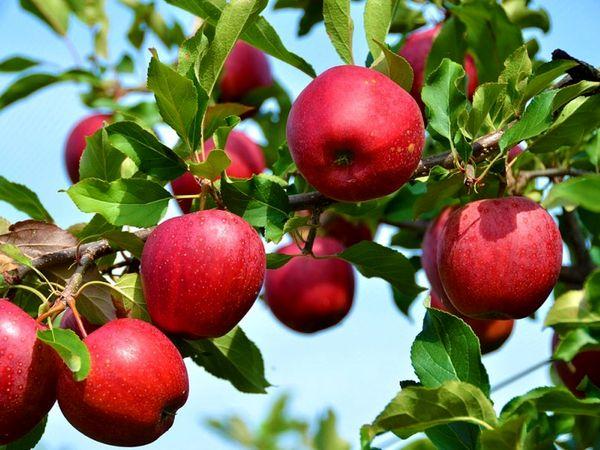 امسال بیش از ۱۶۰ هزار تن سیب از باغهای اشنویه برداشت میشود