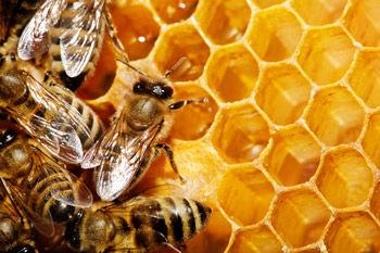 آغاز سرشماری کلنیهای زنبور عسل در شهرستان آباده