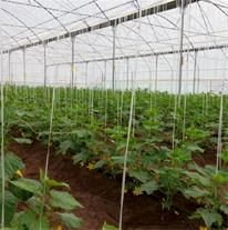 توت فرنگی، خیار، گوجه و کشت هیدروپونیک گل رز ، کشت غالب گلخانه های شهرستان بردسیر است