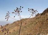 برداشت سالانه  98 تن زیره سبز، از مزارع استان کرمان