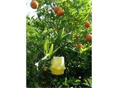 ردیابی مگس میوه در 72 هزار هکتار از باغ های مازندران/ شکار 64 هزار مگس