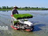 80 درصد نیاز برنج از طریق کشت تامین میشود