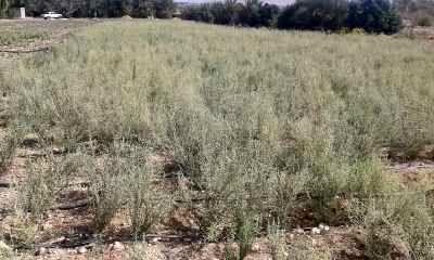 تولید بذر آویشن در گراش