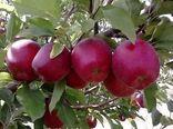 آغاز خرید سیب درختی درجه 3 برای حمایت از باغداران