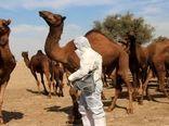 ۹۰ درصد شترهای استان بوشهر هویتدار شدهاند