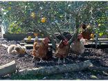 توسعه صنعت مرغداری زیر سایه درختان