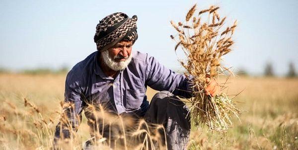 خرید تضمینی گندم در کردستان به ۱۸۴ هزار تن فزایش یافت