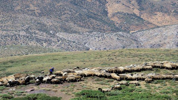 ۱۶ درصد دامهای عشایر اصفهان بیمه هستند