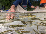 حفاظت از گونههای ماهی بومی در ایالت واشنگتن