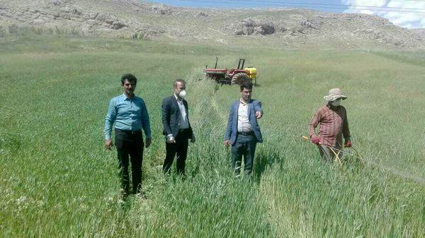 مبارزه با زنگ زرد غلات در شهرستان کوهرنگ