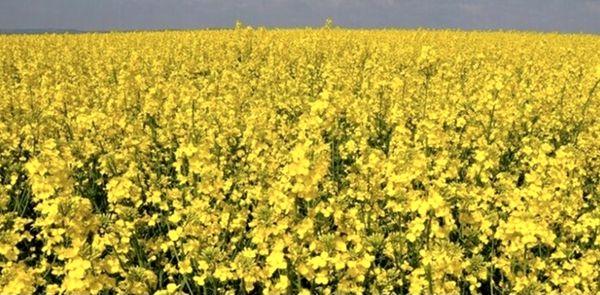 آمادگی تامین بذر کلزای خوزستان توسط تعاون روستایی