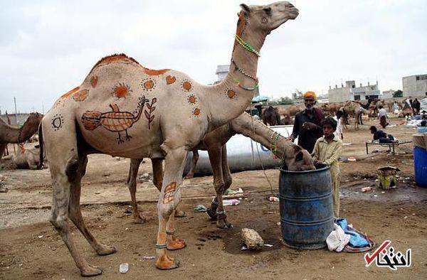 صدور مجوز واردات دائم شتر از پاکستان به خراسان جنوبی
