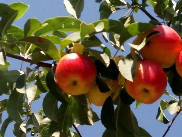 """امسال بیش از 18000 تن سیب در """"صحنه"""" تولید میشود"""