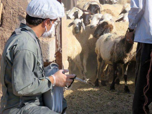 اجرای واکسیناسیون  طاعون نشخوارکنندگان کوچک در استان کرمان
