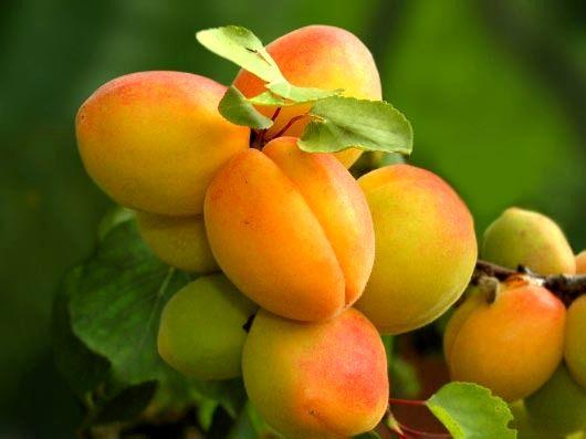 پیش بینی برداشت بیش از 33 هزار تن زردآلو از باغهای آذربایجانغربی
