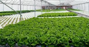 سطح گلخانه های استان به 58 هکتار افزایش می یابد