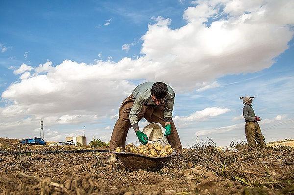برداشت سیبزمینی در دهگلان کردستان