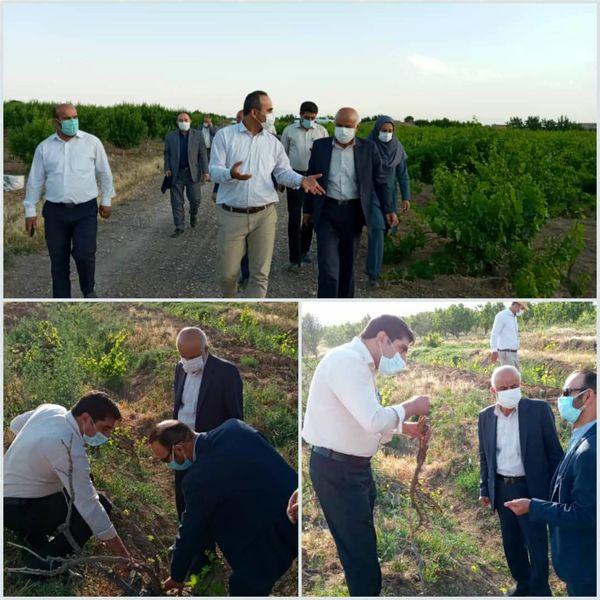 نماینده مردم تاکستان در مجلس شورای اسلامی از باغات انگور این شهرستان بازدید کرد