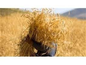 برداشت گندم در نکا آغاز شد/ تولید 32 هزار تنی