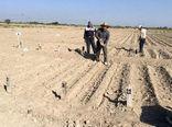مزارع پژوهشی دانه های روغنی در مرکز تحقیقات و آموزش کشاورزی و منابع طبیعی آذربایجان شرقی به زیر کشت رفت
